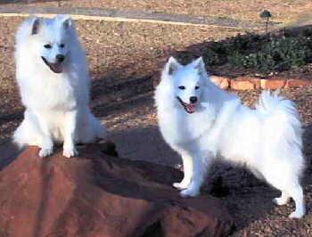 american_eskimo_dog.jpg