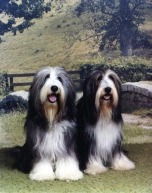 Bearded Collie Herding Breeds