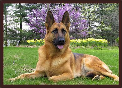 ������� �� ��� ����� ������ ������ german_shepherd.jpg