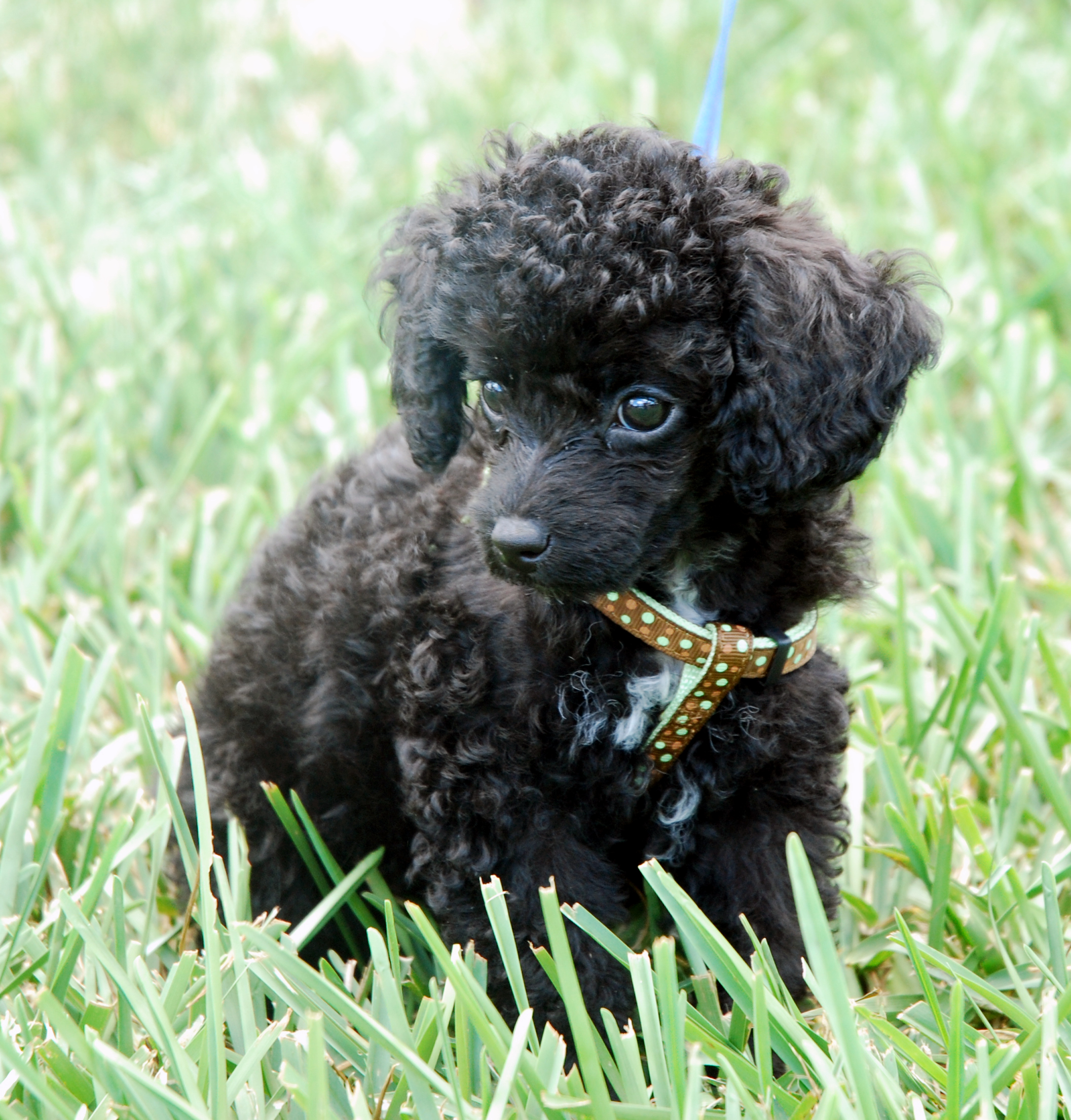 toy poodle Dachshund And Poodle Mix Puppies